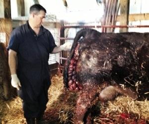 vet & prolapse cow