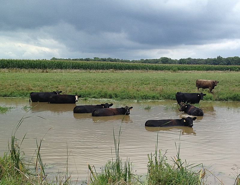 skinny dipping cows