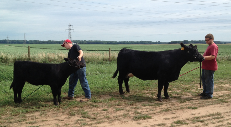 practicing with cow calf
