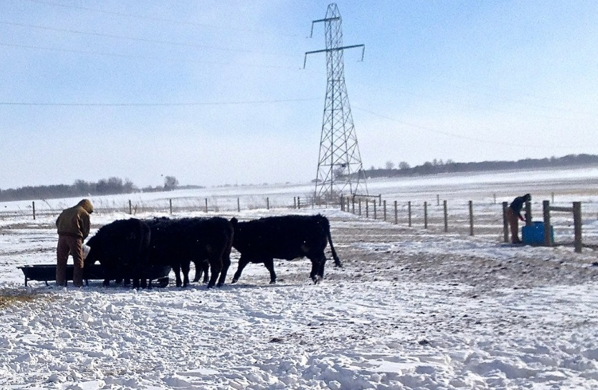 feeding cattle snow blizzard