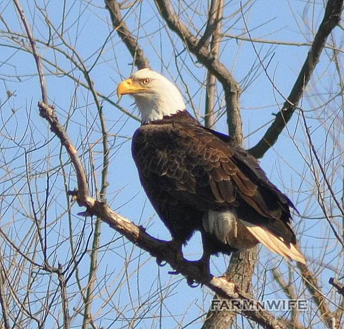 eagle on perch