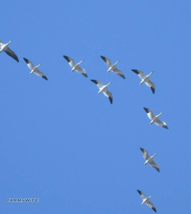geese bellies